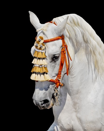 bridle: grey andalusian horse stallion in spanish decoration. aganst black background
