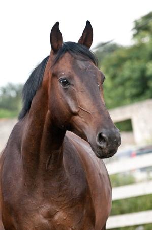 paardenhoofd: Verticale portret bay volbloed paard op paddok Stockfoto