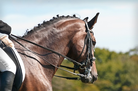 compete: Beautiful sport dressage horse  Horse and rider ready to compete