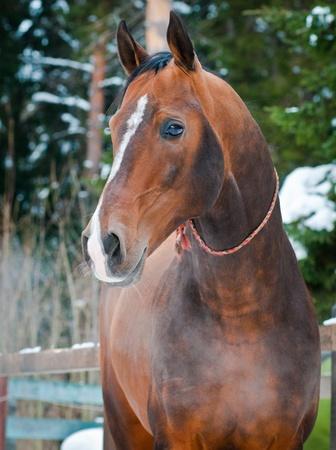 Bay akhal-teke horse portrait on winter s paddock ranch