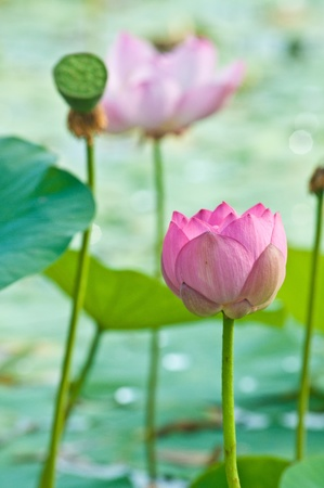 Komarov lotus relict Tertiary species can be found in the Primorsky Krai, Russia  According to Hinduism the lotus is the foremost symbol of beauty prosperity and fertility