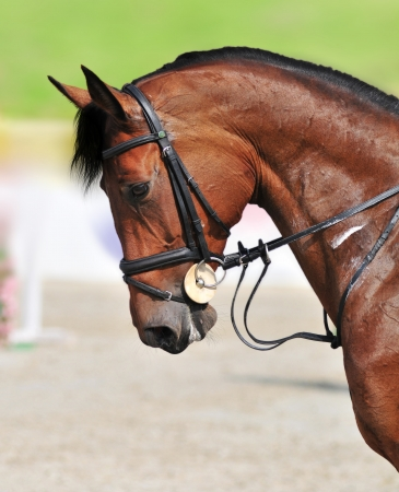 A close-up of beautiful jumping bay horse during the show jumping test