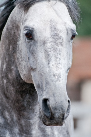 The powerful stare of a dapple-grey trotter stallion  Close-up  photo