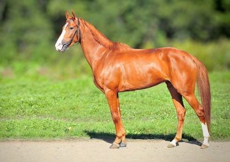 Red Racing mare on summer green nature background photo