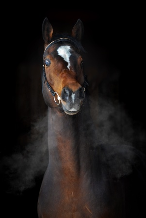 Bay horse in winter with the clouds of steam from breath in dark photo