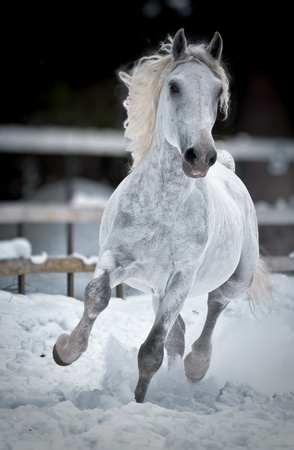 White horse runs gallop in winter front photo