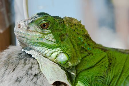 Iguana hiding in the shade on hot, sunny summer terrarium photo