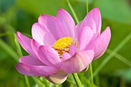 tertiary: Komarov lotus relict Tertiary species can be found in the Primorsky Krai, Russia  According to Hinduism the lotus is the foremost symbol of beauty prosperity and fertility