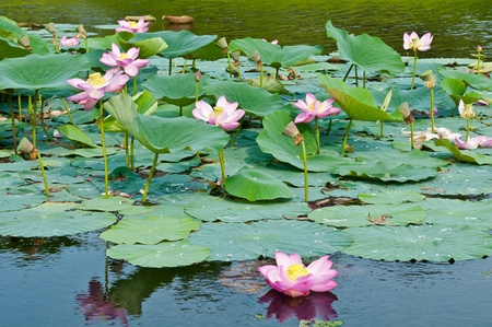 foremost: Komarov lotus relict Tertiary species can be found in the Primorsky Krai, Russia  According to Hinduism the lotus is the foremost symbol of beauty prosperity and fertility