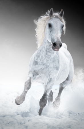 grey horses: White horse runs gallop in winter front Stock Photo