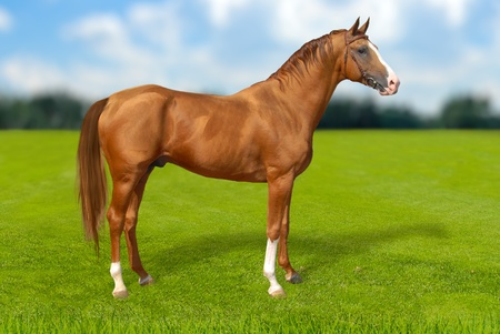 Red warmbllood horse on  summer green grass against blue sky with coulds, nature background  Collage  Illustration