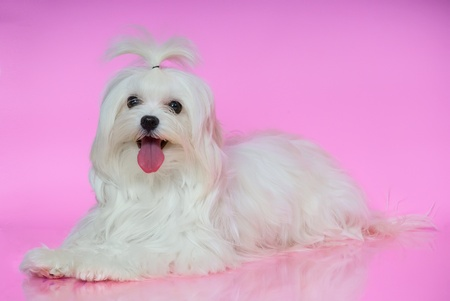 Cute white Maltese dog lies on smooth surface pink background