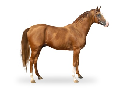 horse harness: Red warmbllood horse isolated on white  Collage  Illustration Stock Photo