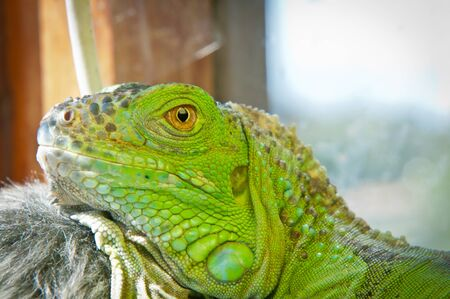 Green Iguana resting on a branch in hot, sunny summer terrarium photo
