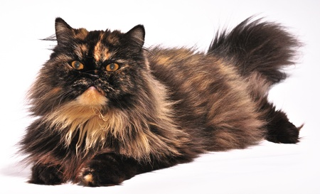Persian tortie cat on the white background,  looks on the left upwards photo