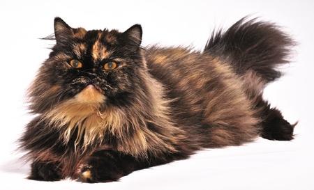 Persian tortie cat on the white background,  looks on the left upwards Reklamní fotografie