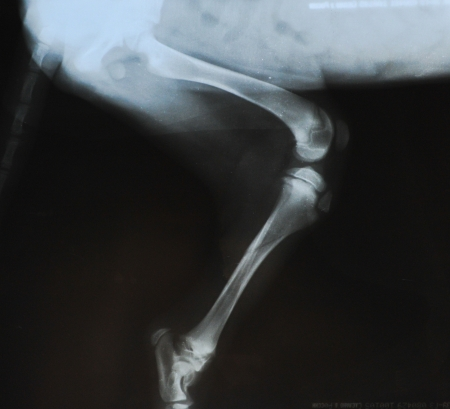 Radiograph show a fracture in the tibia of a young dog  growth plates are still open  Stock Photo