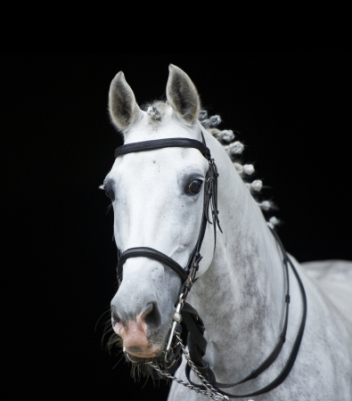 grey orlov trotter horse on black