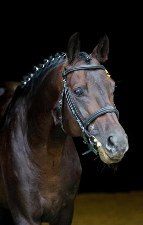 andalusian: stallion - breeder horse on dark background