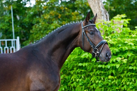 warmblood: stallion - breeder horse on green background