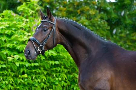 Portrait of a bay hannoverian German stallion  Stock Photo