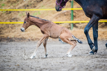 The two-day sports crossbred breed foal with his mother-mare walks in paddock on a rainy and cloudy day