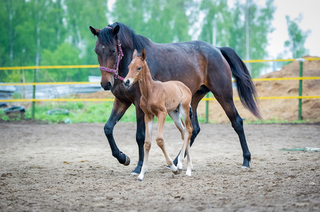 The two-day sports crossbred breed foal with his mother-mare walks in paddock on a rainy and cloudy day photo