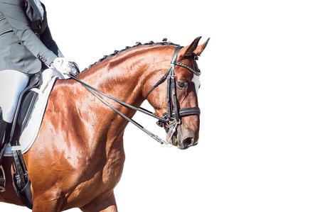 Dressage bay horse and rider on on white background isolation