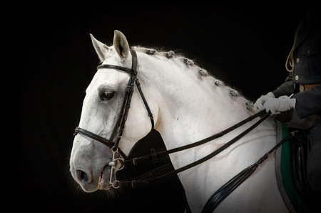 snoot: A portrait of gray dressage horse on black Stock Photo