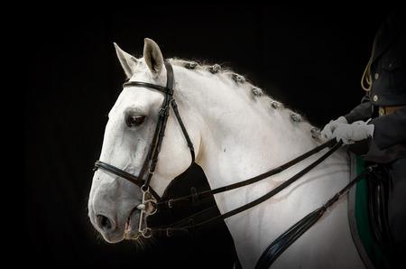 A portrait of gray dressage horse on black Stock Photo