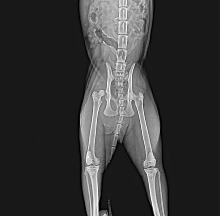 X-rays of the hip dislocation head of femur thigh bone in a dog