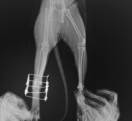 femoral: Postsurgical x-ray image shows an osteosynthesis of an leg cats through a gamma nail.
