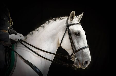 A portrait of gray dressage horse on black Stock Photo