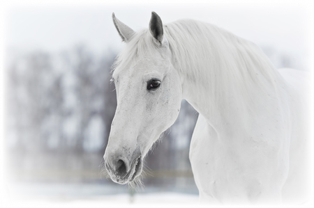 hoofed: white horse portrait close up in winter