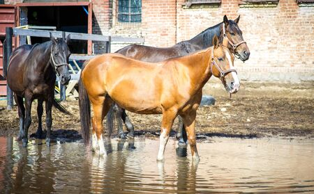 Pregnant mare gold with other mares in the paddock in a pool with the reflection of the sky