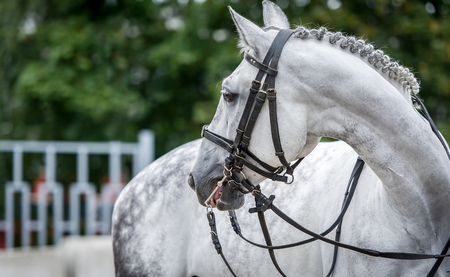 running nose: White horse close up portreture during dressage show Stock Photo