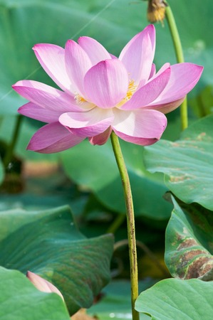 foremost: Komarov lotus relict Tertiary species can be found in the Primorsky Krai, Russia. According to Hinduism the lotus is the foremost symbol of beauty prosperity and fertility