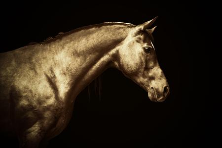arab beast: Arabian gold horse portrait on black background, colored art