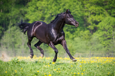 Black horse playing and runs gallop on the meadow in summer Stock Photo