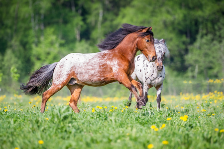 Two appaloosa ponies runs on the meadow in summer