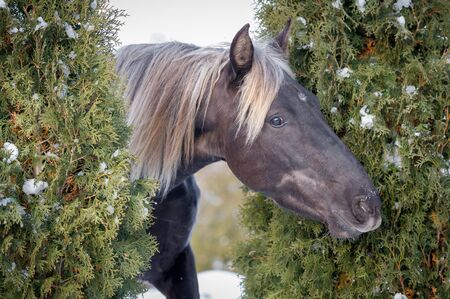 Portrait Rocky Mountain horse of silvery-black color