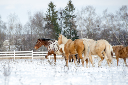 Herd of horses running through a snowy field gallop Stock Photo
