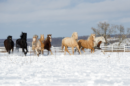 hoofed: Herd of horses running through a snowy field gallop Stock Photo
