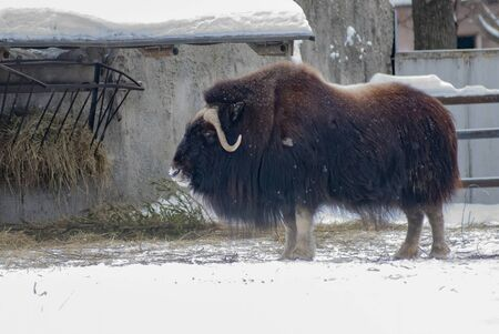 musk ox - Ovibos Moschatus - in zoo habitat 版權商用圖片