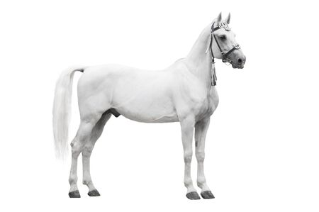 The beautiful gray stallion Orlov trotter breed in traditional russian harness stand isolated on white background
