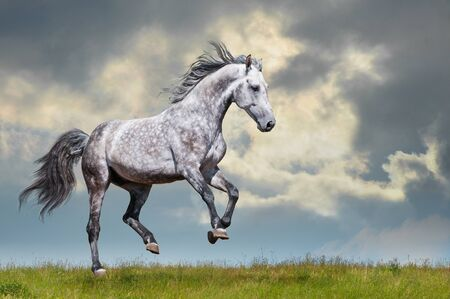 Grey horse running on the grass on sky and could