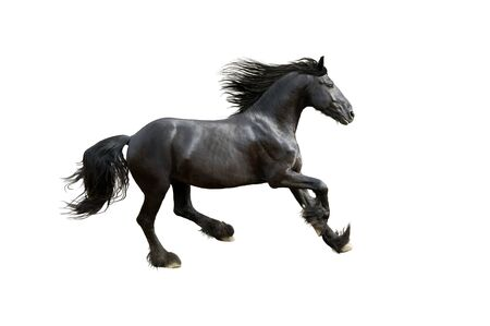 black friesian horse gallop isolated on white Banco de Imagens