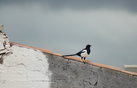 a magpie perching in a roof (in Barcelona)