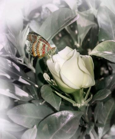 Butterfly in white flower