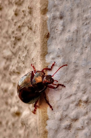 Red beatle in the wall